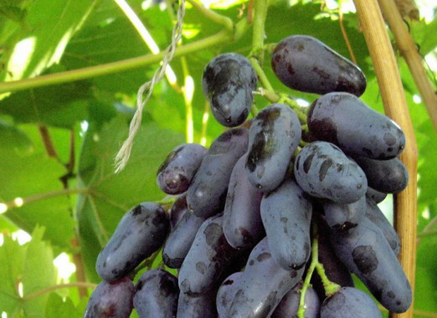 Сорт винограда: Одесский сувенир