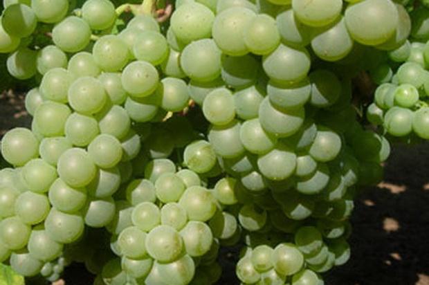 Сорт винограда: Оницканский белый