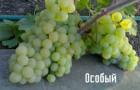 Сорт винограда: Особый