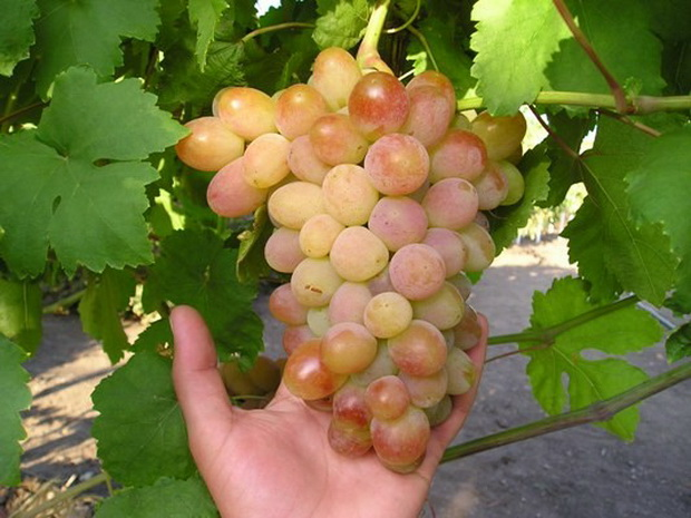 Сорт винограда: Памяти стреляевой