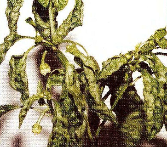Пaпopoтниковидность и курчавость листьев перца