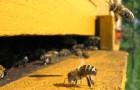 Пчелы гибнут как от агрохимикатов, так и от их отсутствия