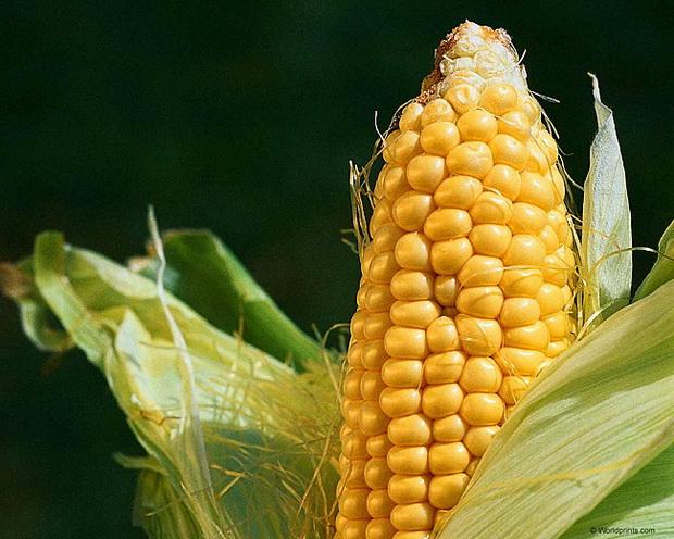 Сорт кукурузы: Пх 51 х
