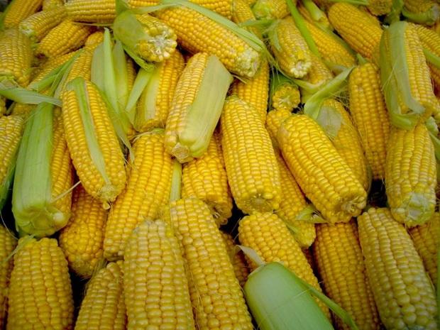 Сорт кукурузы: Пх 7 аб