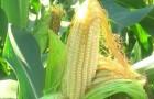 Сорт кукурузы: Пх 7 хг