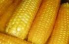 Сорт кукурузы: Пхгвг