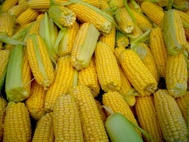 Сорт кукурузы: Пххрй