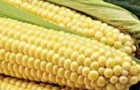 Сорт кукурузы: Пхцпр
