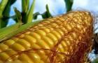 Сорт кукурузы: Пхввнй
