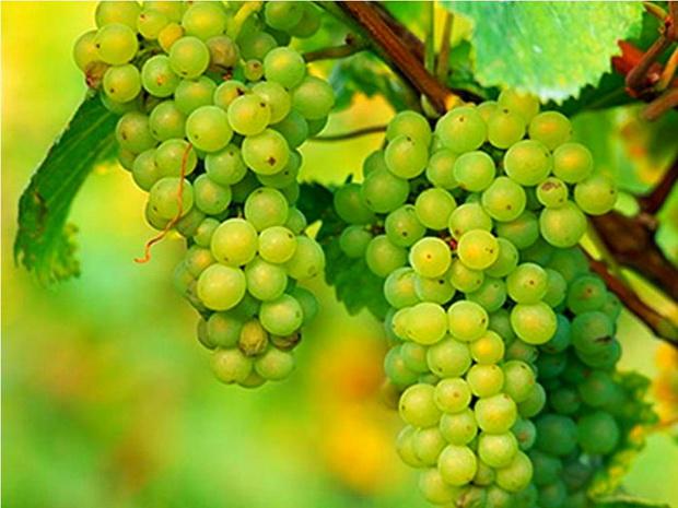 Сорт винограда: Пино белый