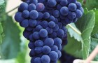 Сорт винограда: Пино серый