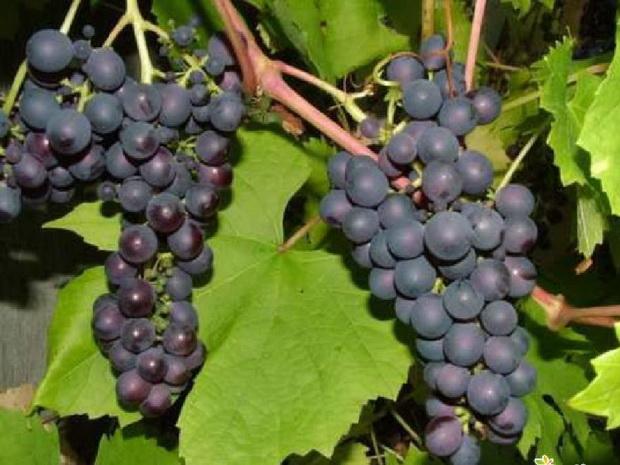 Сорт винограда: Победитель