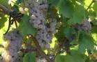 Сорт винограда: Подарок магарача