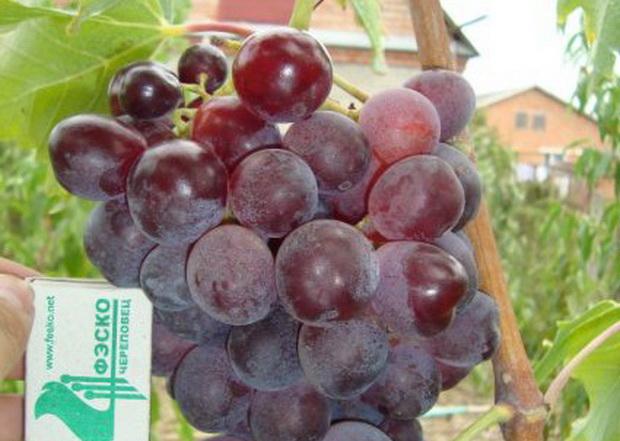 Сорт винограда: Прикубанский