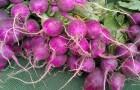 Сорт редиса: Пурпурная с белым кончиком