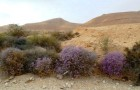 Пустыня цветет от роста концентрации CO2 в воздухе