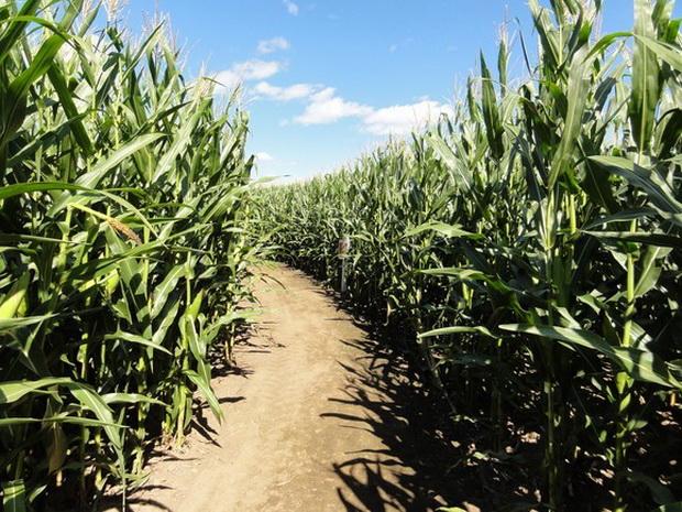 Сорт кукурузы: Р 0205