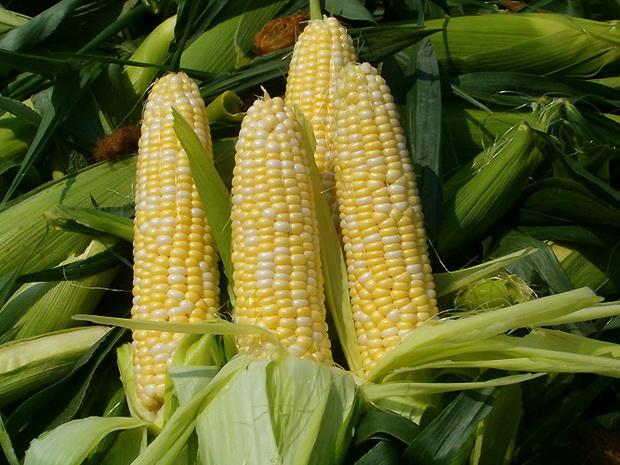 Сорт кукурузы: Р 04053