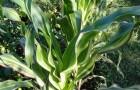 Сорт кукурузы: Радуга