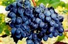 Сорт винограда: Ранний магарача