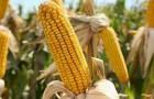 Сорт кукурузы: Риксер