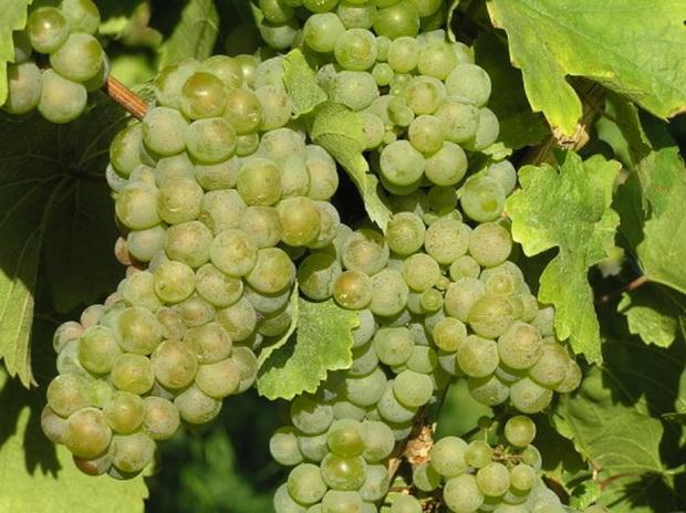 Сорт винограда: Рислинг азос