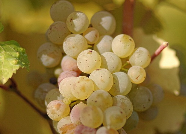 Сорт винограда: Рислинг рейнский