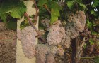 Сорт винограда: Рисус