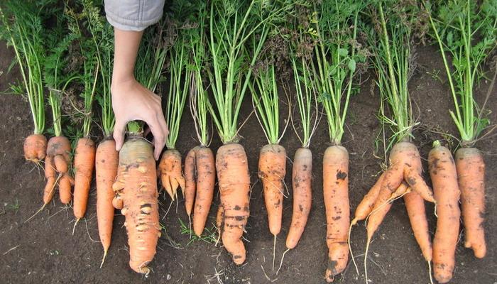 Ризоктониоз моркови (войлочная болезнь)