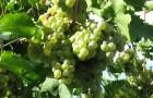 Сорт винограда: Ркацители магарача