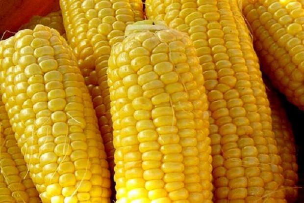 Сорт кукурузы: Родник 179 св