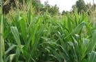 Сорт кукурузы: Родник 180 св