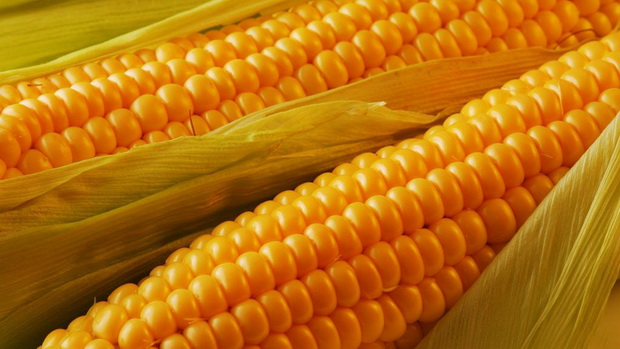Сорт кукурузы: Родник 292 мв