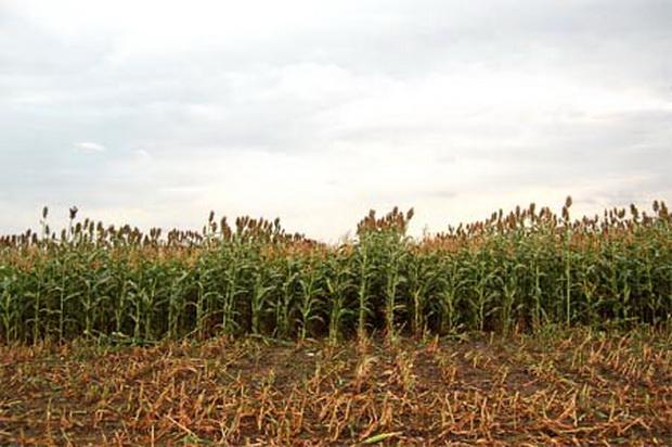 Сорт кукурузы: Роналдинио