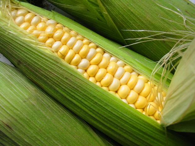 Сорт кукурузы: Росмолд 254 мв