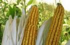 Сорт кукурузы: Росс 140 св