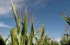 Сорт кукурузы: Росс 185 мв