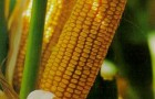 Сорт кукурузы: Росс 195 мв