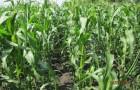 Сорт кукурузы: Твиди кс