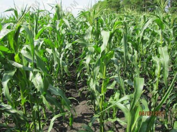 Сорт кукурузы: Российская 2