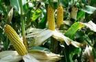 Сорт кукурузы: Рп 514