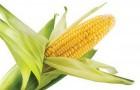 Сорт кукурузы: Рп 556