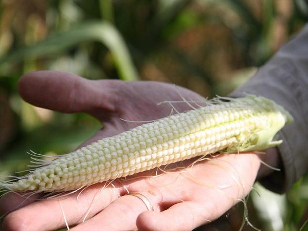 Сорт кукурузы: Рпк 7250
