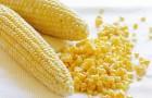 Сорт кукурузы: Рпк 7254 x рпк 7346