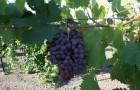Сорт винограда: Рубин азос