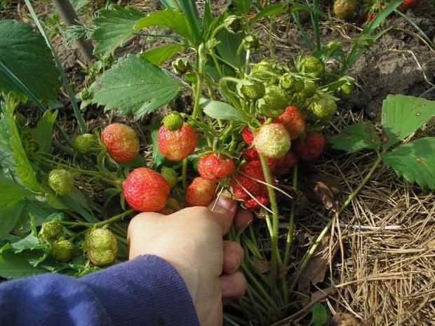 Сорт земляники: Рубиновый кулон