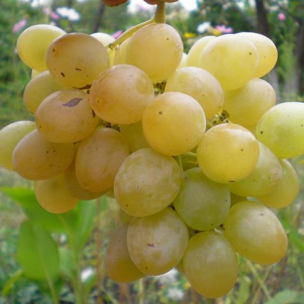 Сорт винограда: Русмол