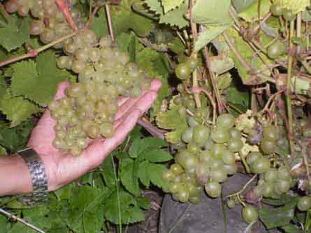 Сорт винограда: Русский янтарь