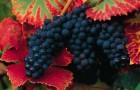 Сорт винограда: Рябинский