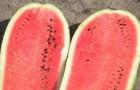 Сорт арбуза: Шапка императора